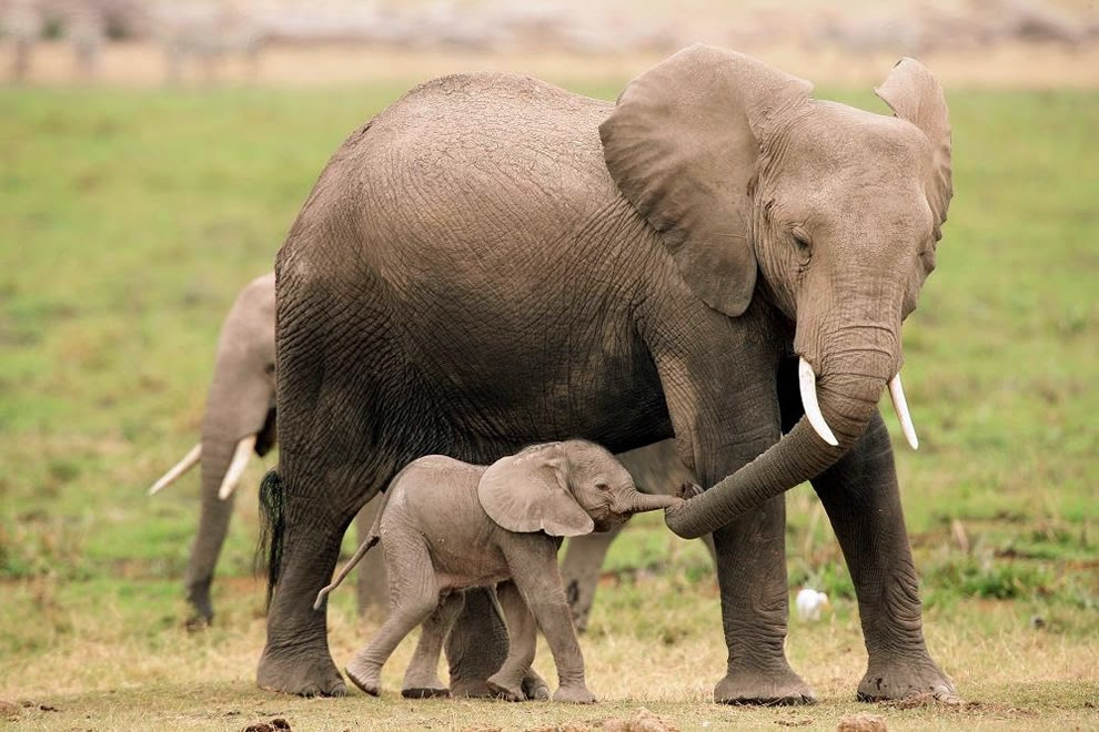 Mom-and-baby-elephants-holding-hands-or-trunks